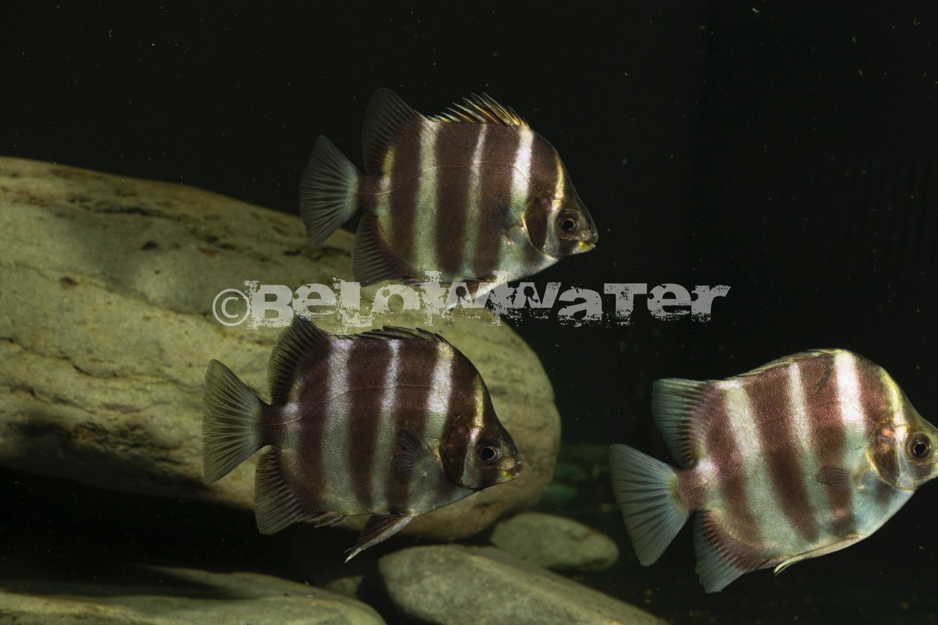 Scatophagus tetracanthus